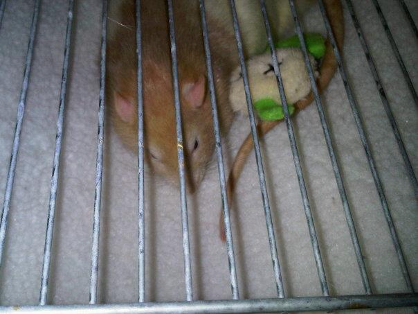 Saying goodbye to my pet rats (Pantalaimon and Bentley) (4/6)