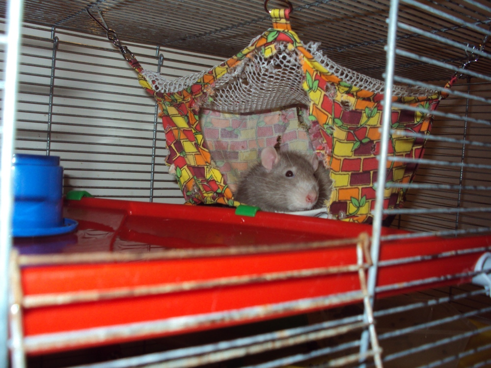 Saying goodbye to my pet rats (Pantalaimon and Bentley) (2/6)