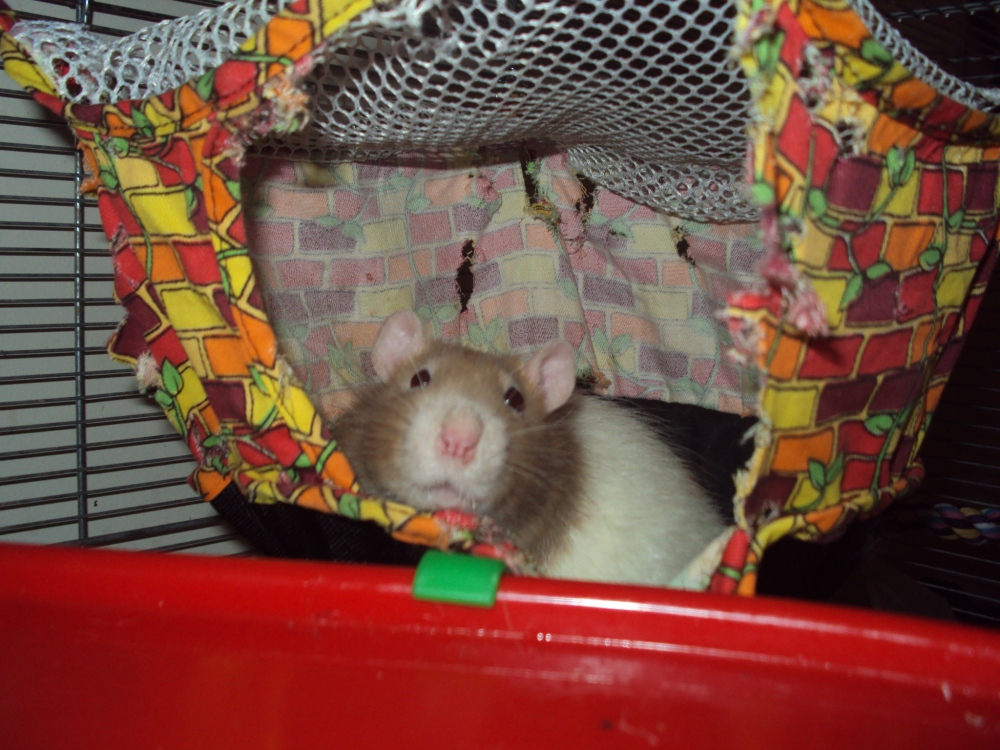 Saying goodbye to my pet rats (Pantalaimon and Bentley) (1/6)
